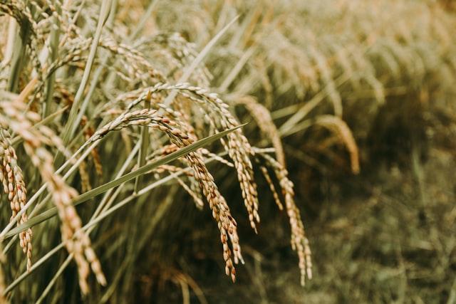arroz, uno de los alimentos servidos por Grupo Kosmos